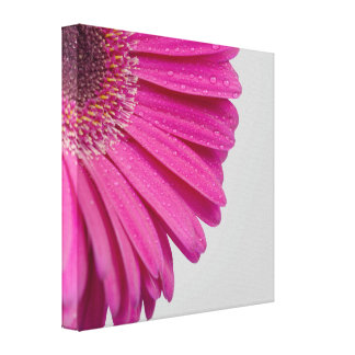Pink daisy flower with water drops beautiful photo stretched canvas print