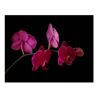 Pink Dendrobium Orchid on Black - Customized Postcard