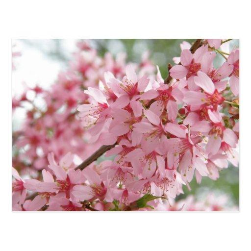 Pink Dogwoods Postcard