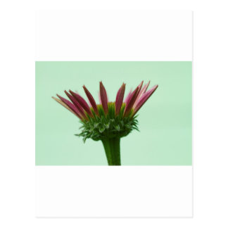 Pink Echinacea Coneflower Blossom Background Postcard
