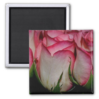 Pink Edged White Roses Refrigerator Magnet