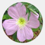 Pink evening primrose wild flower