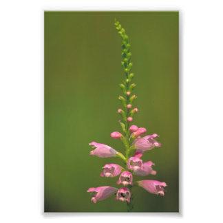 Pink False Dragonhead Flower Photo Print