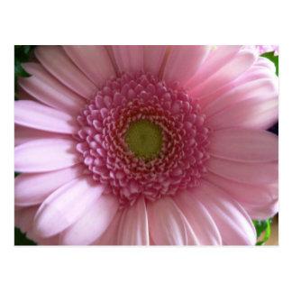 Pink Flower Close Up Big Flower Postcard