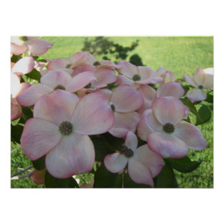 Pink Flowering Dogwood Poster