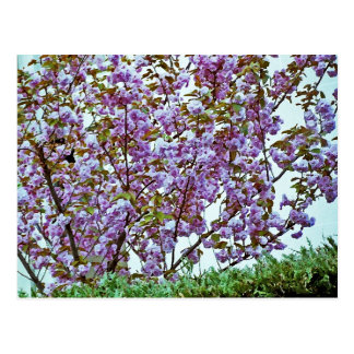 Pink Flowering Tree in France Post Cards