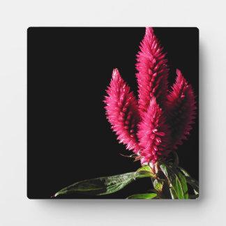 Pink Flowers. Celosia Caracas, Cockscombs. Plaque