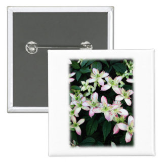 Pink flowers. Clematis. On White. Buttons