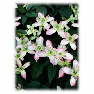 Pink flowers. Clematis. On White. Photo Cutouts