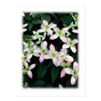 Pink flowers. Clematis. On White. Postcard