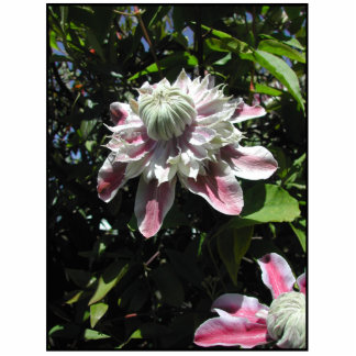 Pink flowers. Clematis. Stylish design. Photo Cutout