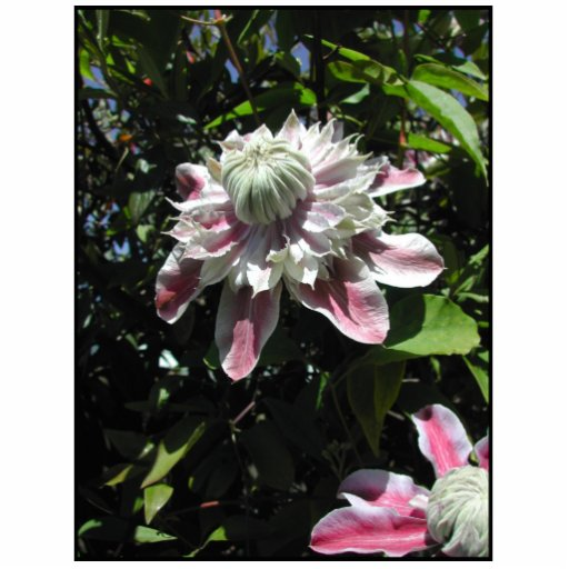 Pink flowers. Clematis. Stylish design. Photo Cutouts