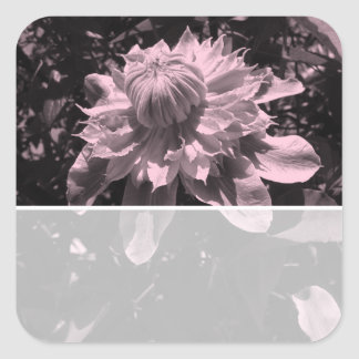Pink flowers. Clematis. Stylish design. Square Sticker