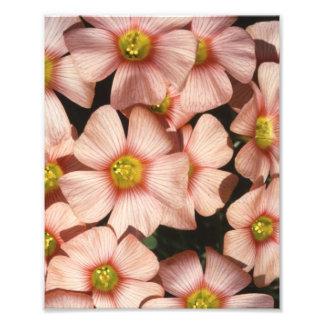 Pink Flowers Wood Sorrel Oxalis Photo