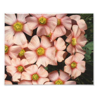 Pink Flowers Wood Sorrel Oxalis Photographic Print