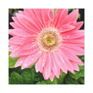 Pink Gerber Daisy Stretched Canvas Print