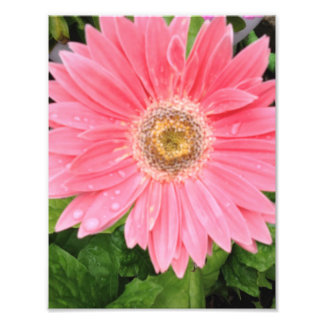 Pink Gerber Daisy Photo Print