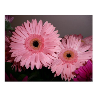 pink gerber daisy post card