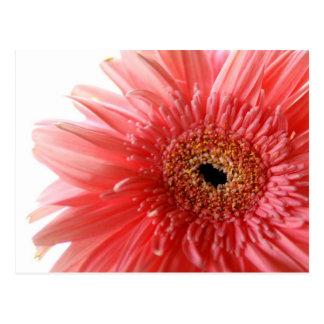 Pink Gerber Daisy Postcard