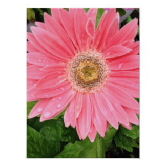 Pink Gerber Daisy Posters