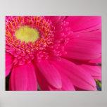 Pink Gerber Daisy Poster