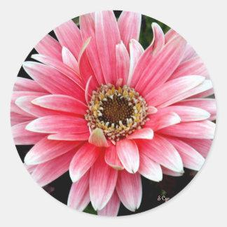 Pink Gerbera Classic Round Sticker