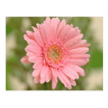 Pink Gerbera Daisy Flower  Greeting Postcard