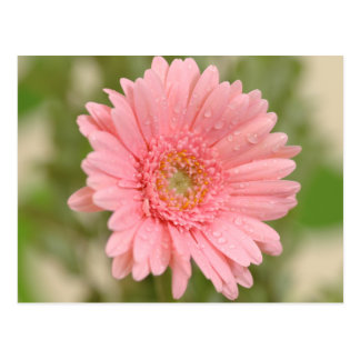 Pink Gerbera Daisy Flower  Greeting Postcard