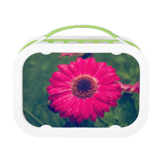 Pink Gerbera Daisy in Bloom Lunch Boxes