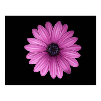 Pink Gerbera flower Postcard
