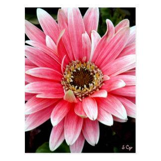 Pink Gerbera Postcard