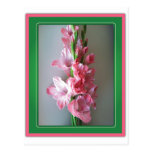 Pink Gladiolus Postcard