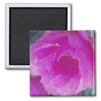 Pink Hedgehog Cactus blossom (Echinocereus Square Magnet