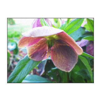 """Pink Hellebore """"Christmas Rose"""" Oil Wrapped Canvas Gallery Wrap Canvas"""