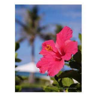 Pink hibiscus flower postcard