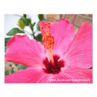 Pink Hibiscus Photo Print