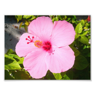 Pink Hibiscus Tropical Flower Photographic Print