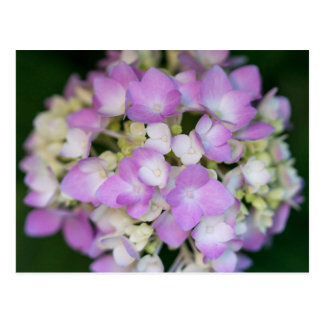 Pink Hydrangea Flowers Floral Postcard