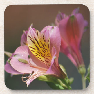 Pink Inca Lily flowers and meaning Beverage Coasters