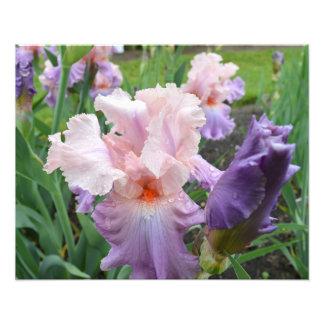 "Pink Iris 20""x16"" Photo Print"