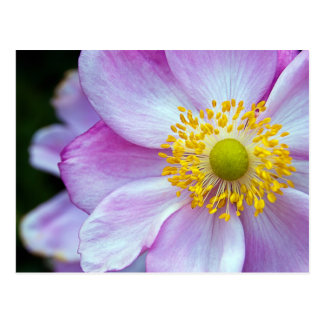 "Pink ""Japanese Anemone"" Postcard"