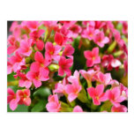 Pink Kalanchoes Post Cards