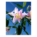 Pink Lilies Postcards
