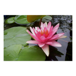Pink Lilly In Pond Poster