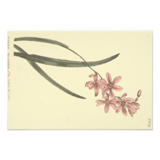 Pink Lily of The Valley Illustration Photo Art