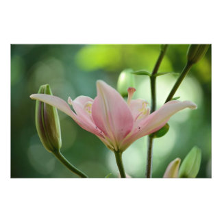 Pink Lily Photo Print