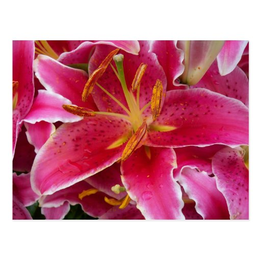 Pink Lily with Water Droplets Postcard