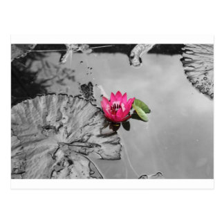 Pink Lotus (Black and White background) Postcard