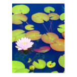 Pink Lotus Flower floating with lily pads on pond