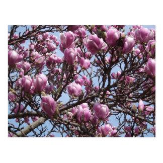 Pink Magnolia Flowers Postcard